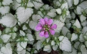 Lamium silver nettle plant