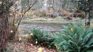 Riparian Ferns